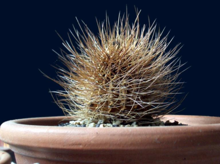 Dead Cactus
